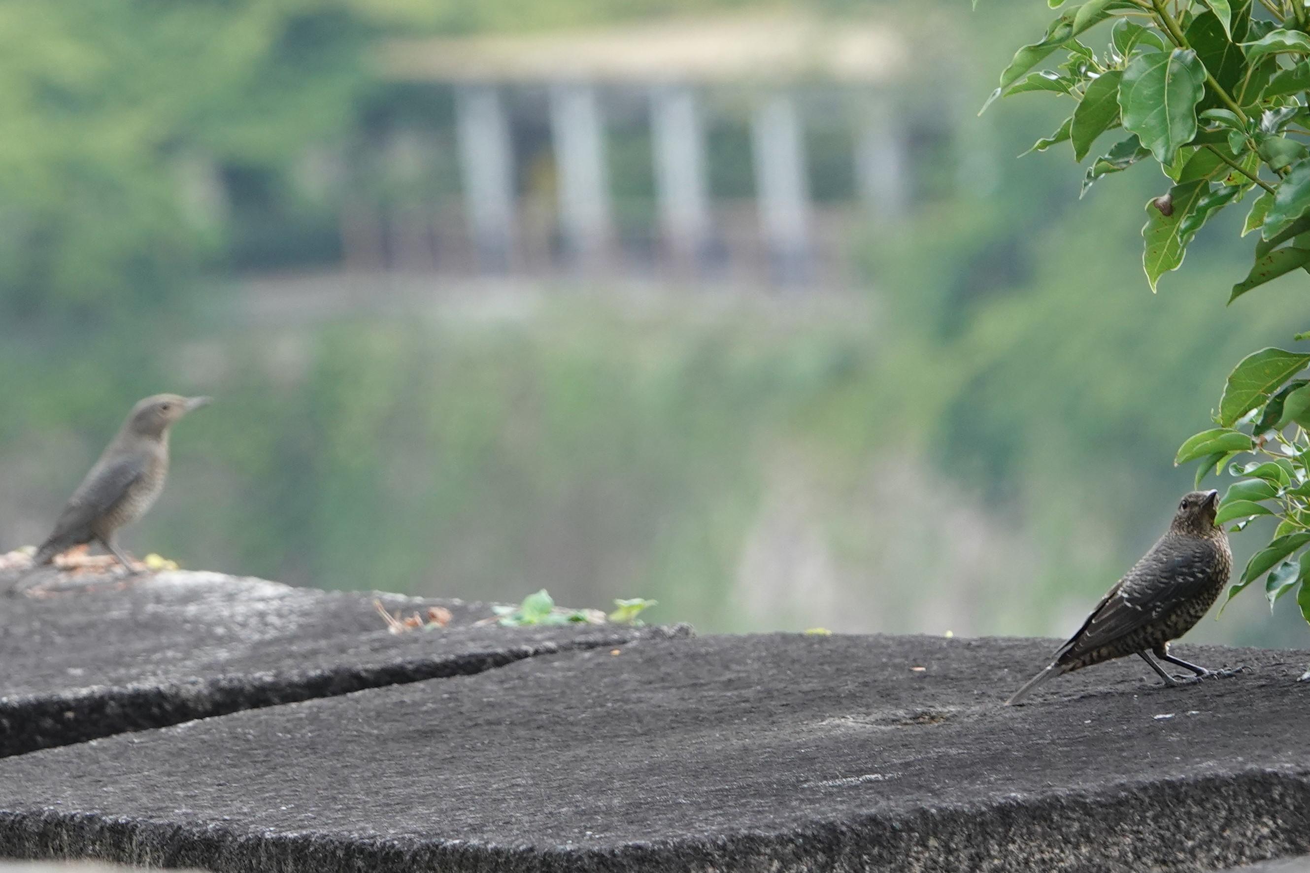 イソヒヨドリ2羽