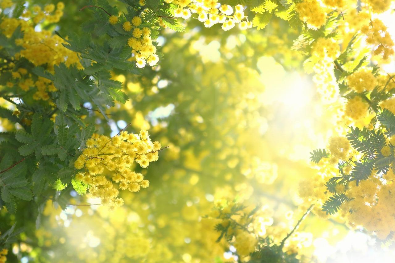 s-mimoza.jpg