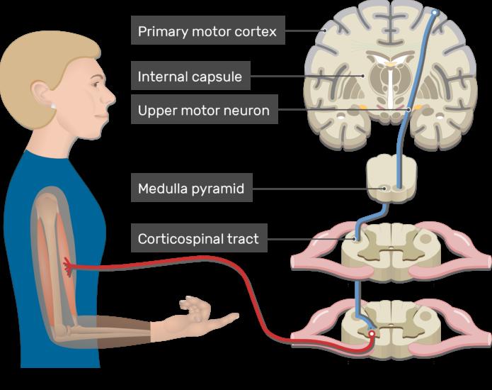 Upper-motor-neuron-UMN_0-Pyramidal-Tract-Pathway-695x550.png