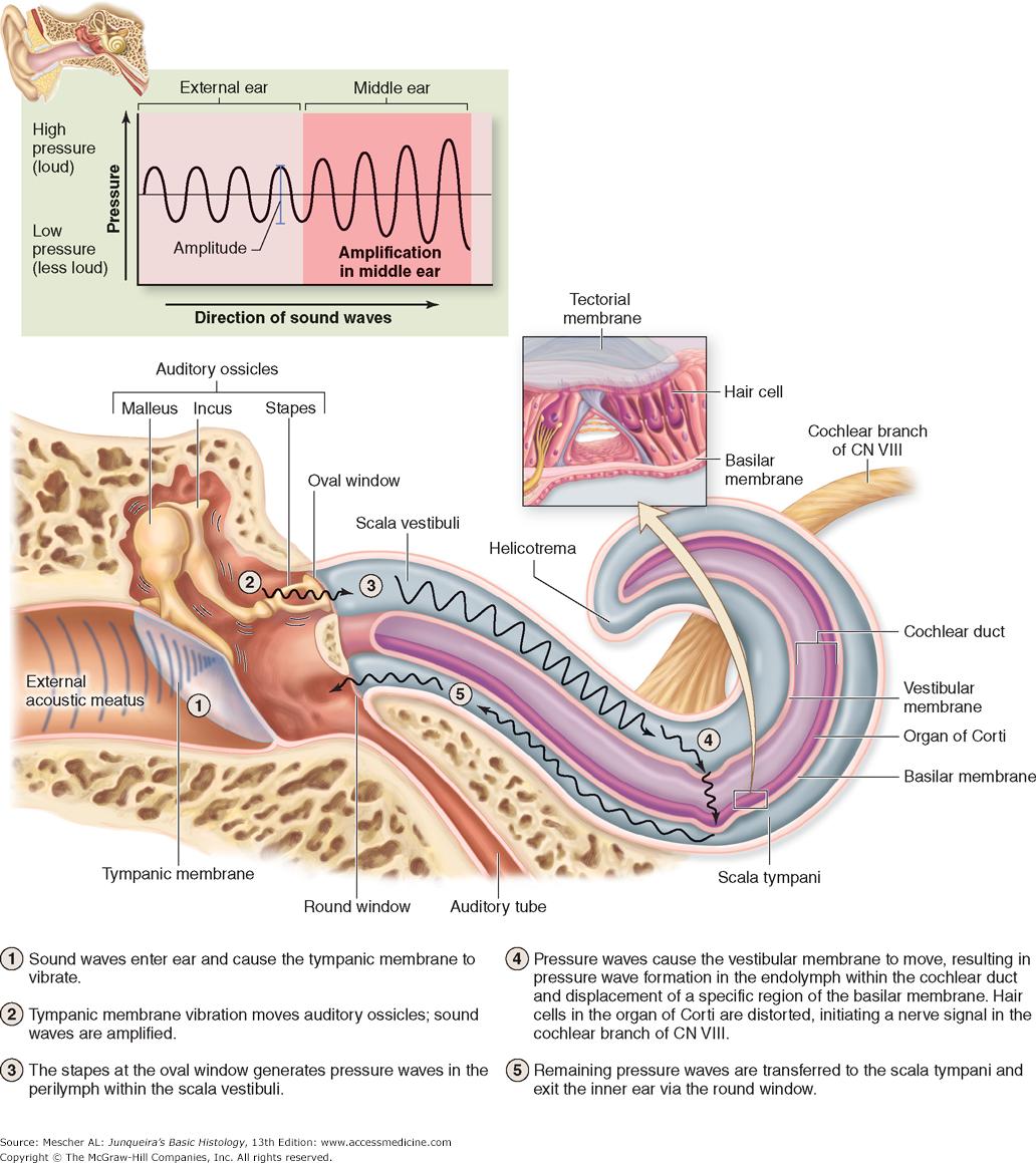 inner-region-of-an-organ-chapter-23-the-eye-ear-special-sense-organs-junqueiras-basic.png