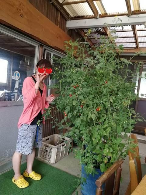 トマトの木
