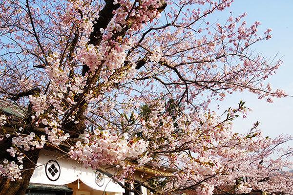 松前城の桜