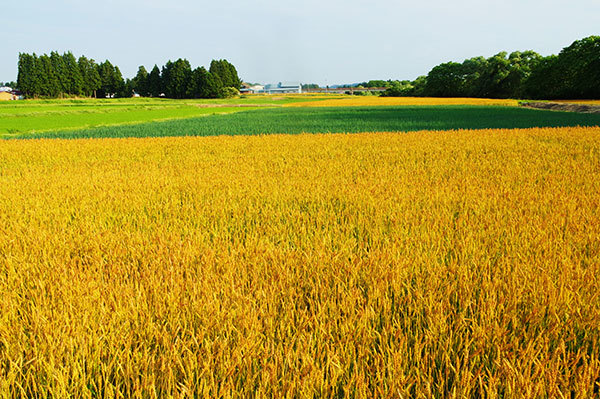 花巻市石鳥谷町の麦畑