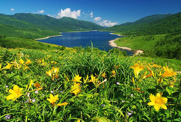 野反湖のノゾリキスゲ