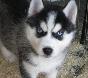 06_husky-puppies.jpg