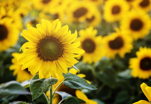 beautiful-blossom-sunflowers-in-the-field_53876-14214.jpg