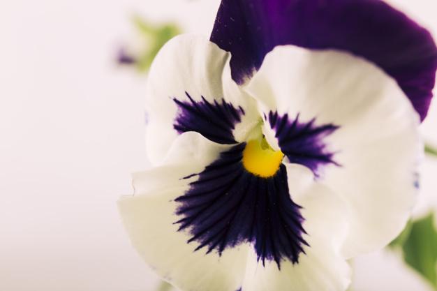 beautiful-pansy-flower_23-2147836302.jpg