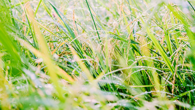blurred-paddy-rice-field-with-bokeh-and-filtered-color_35641-1644.jpg