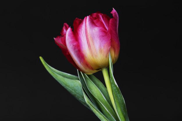 closeup-of-pink-tulip_53876-16647.jpg