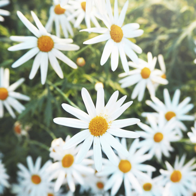 daisy-chamomile-field-blossom-concept_53876-14226.jpg