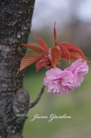 八重桜180406