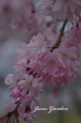 枝垂桜180407