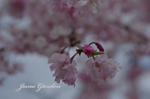 枝垂桜180406