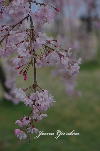 桜180406
