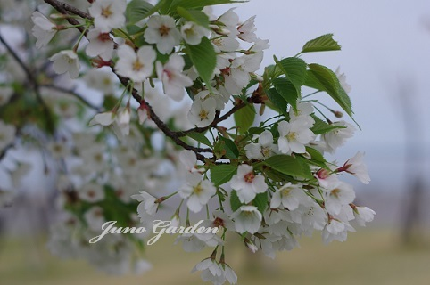 大島桜180406