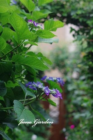 紫陽花180608