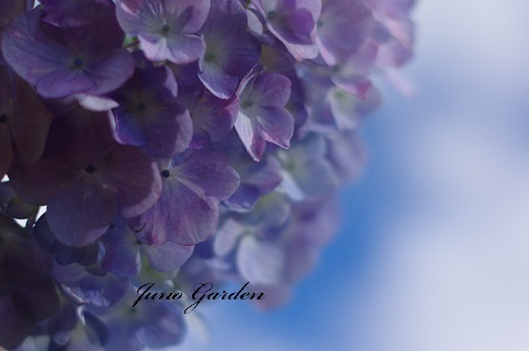 2紫陽花18061