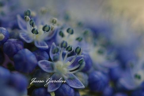 紫陽花180618