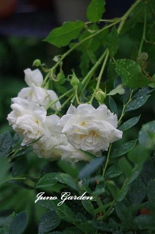 ブライダルホワイト180620