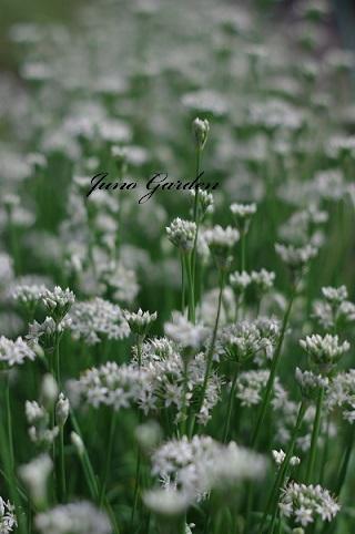 ニラの花1880911