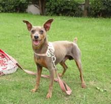 仙台犬ミニピン