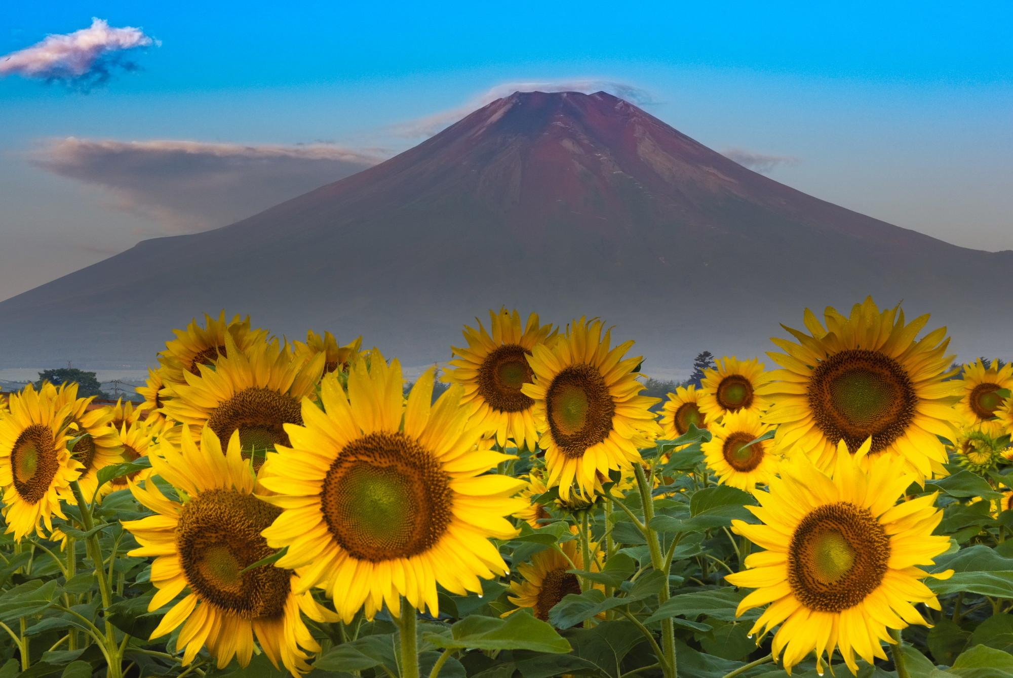赤富士ヒマワリ15814160400180802054907