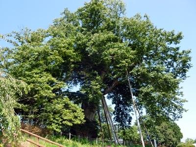 神指城_高瀬の大木