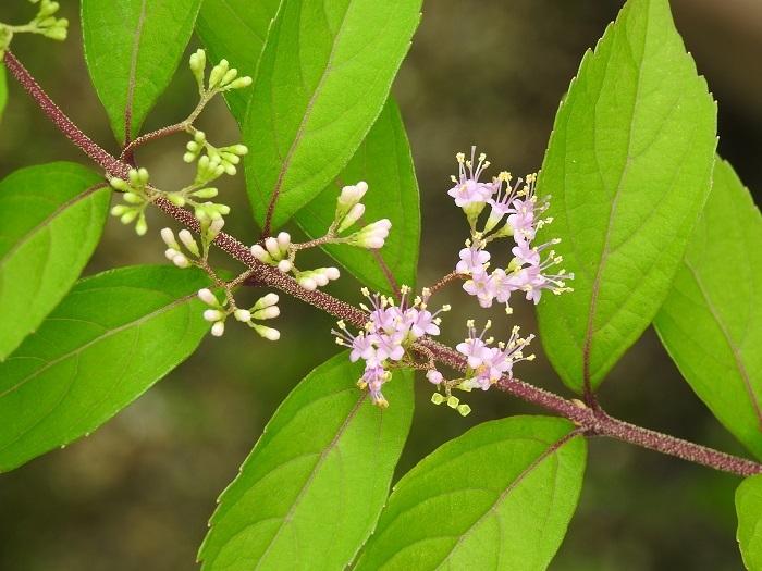 ムラサキシキブ花