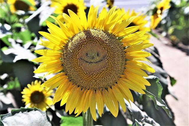 IMG_7472-世田谷の向日葵
