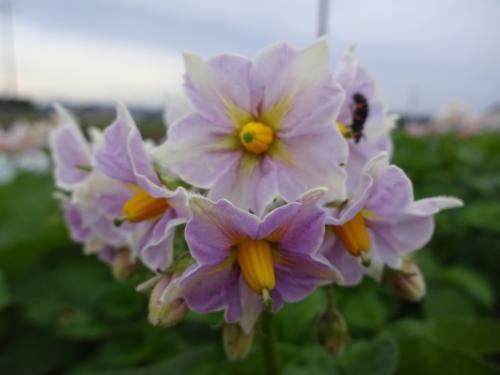 ジャガイモの花です!