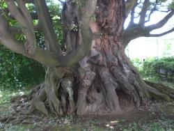 シイの古木