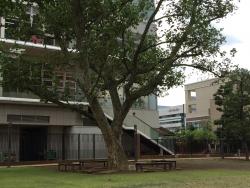 芝浦 プラタナス公園 プラタナスの木