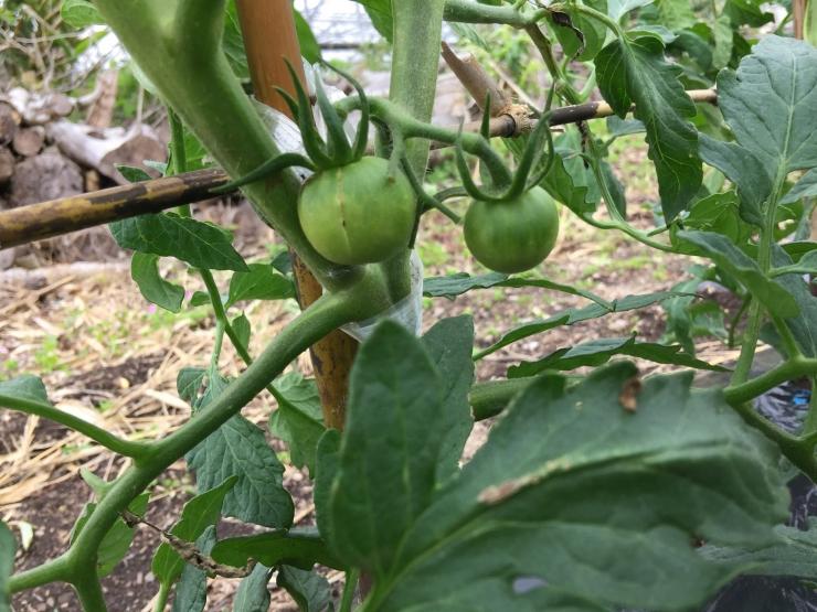 185トマト