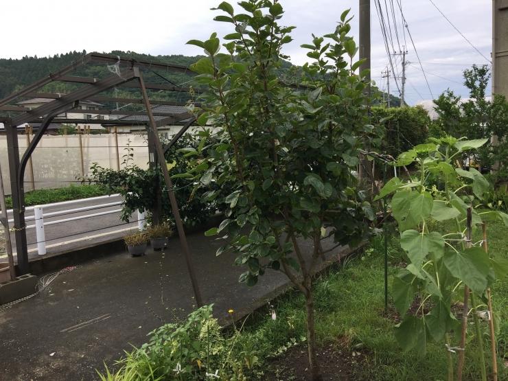 186大秋柿1