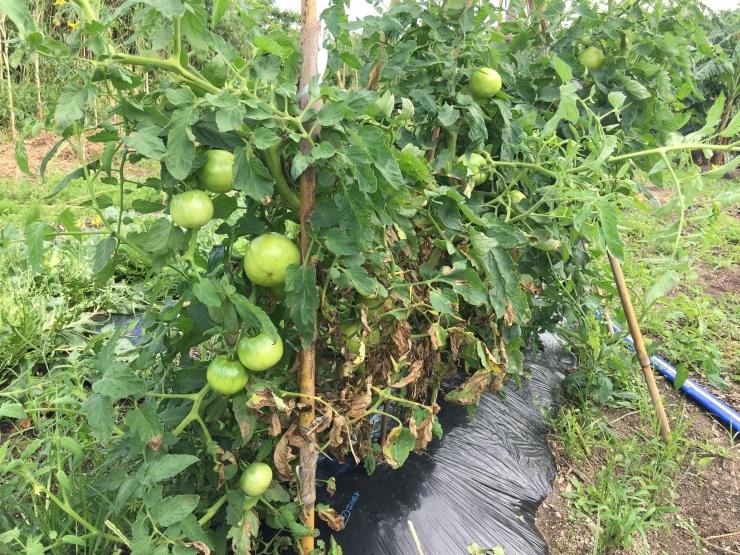 187トマト