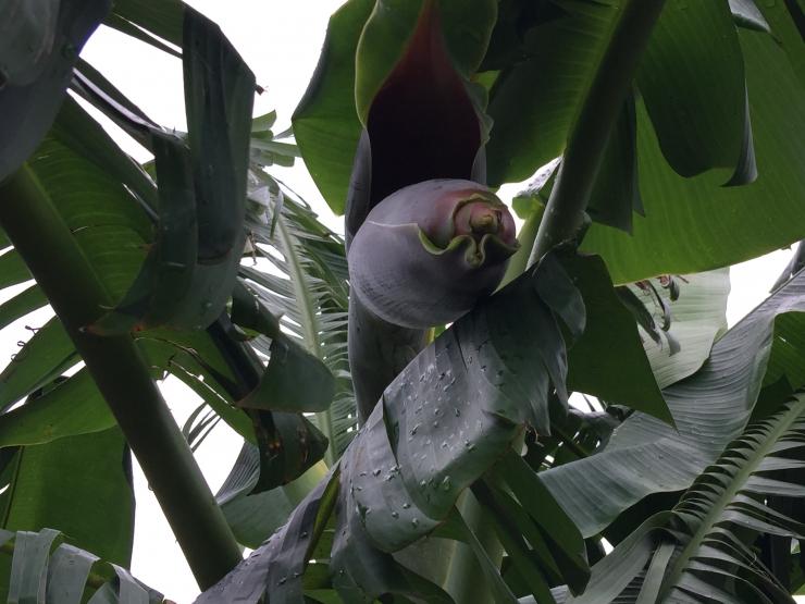 187バナナ花5