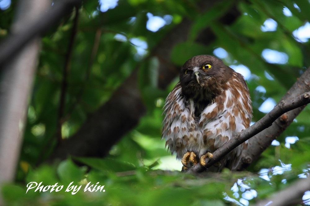 Brown hawk owl ♪ ~アオバズク PART4~