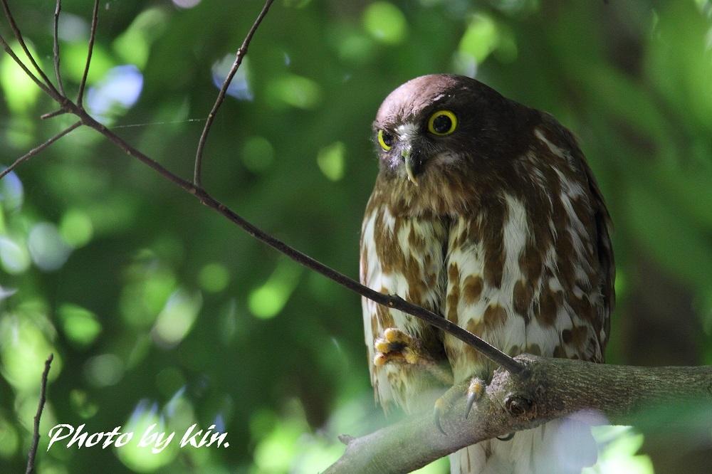 Brown hawk owl ♪ ~アオバズク PART5~