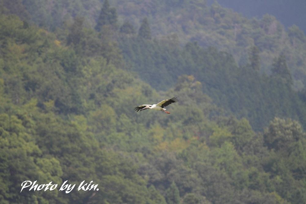 Japanese white stork ♪ ~コウノトリ PART1~