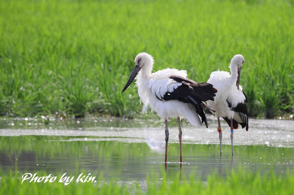 Japanese white stork ♪ ~コウノトリ PART2~