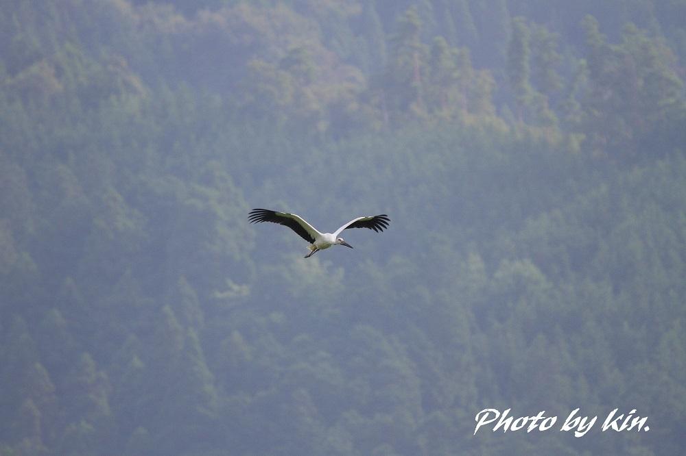 Japanese white stork ♪ ~コウノトリ PART3~