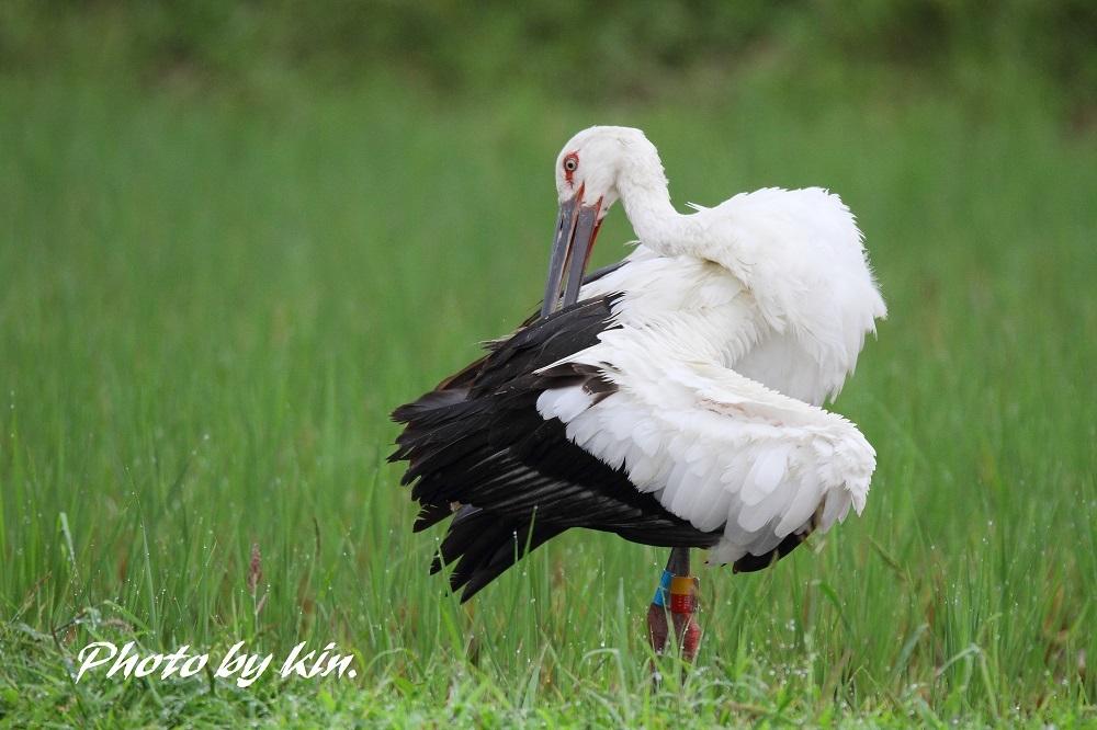 Japanese white stork ♪ ~コウノトリ PART5~