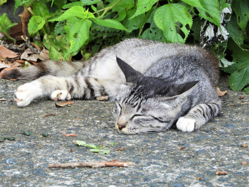 【猫】神社ねこ 2018 夏(4)