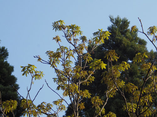 180429 トチノキ開葉