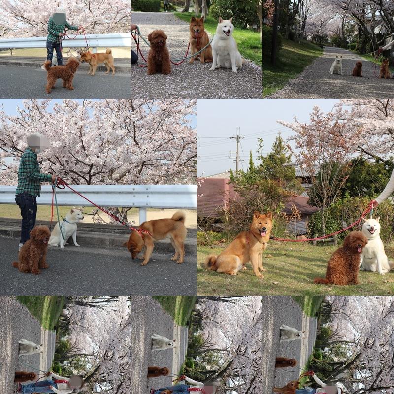 昼のお散歩。桜と撮影