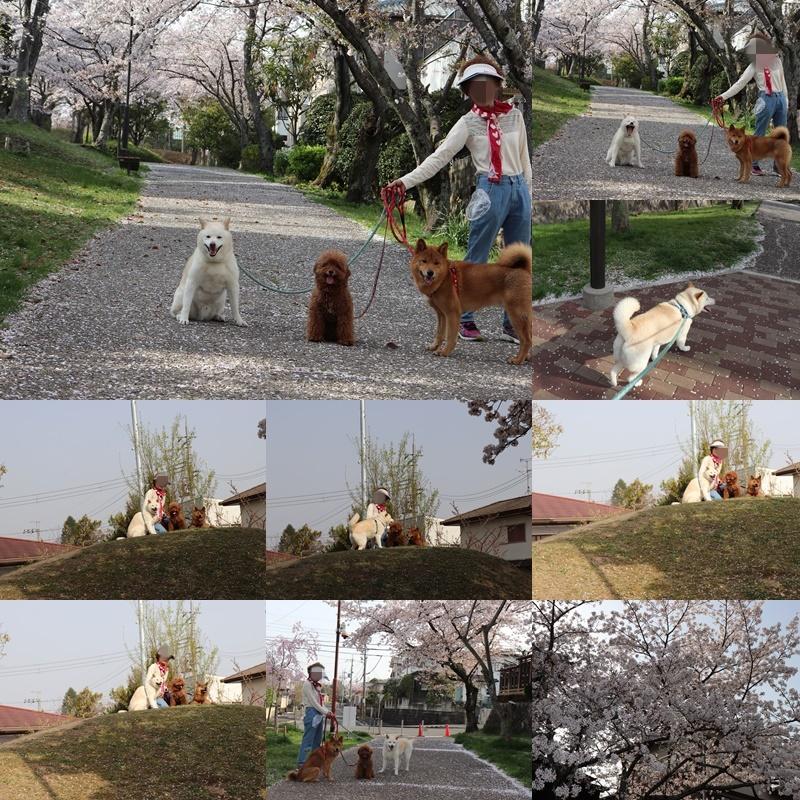 昼のお散歩。桜と撮影2