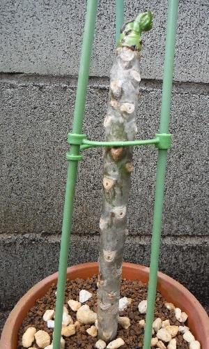 Plumeria1-2018.jpg