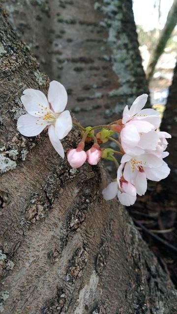 2014桜4-1