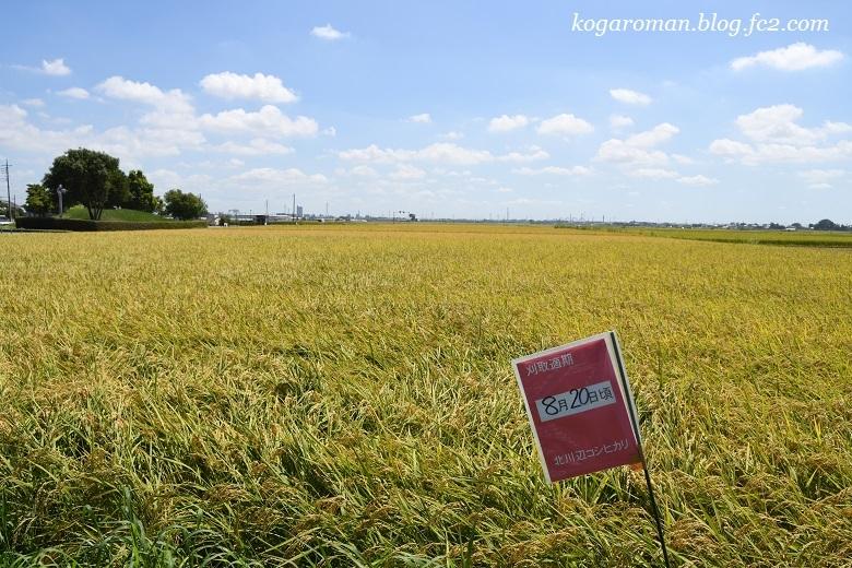 北川辺地域の稲刈り