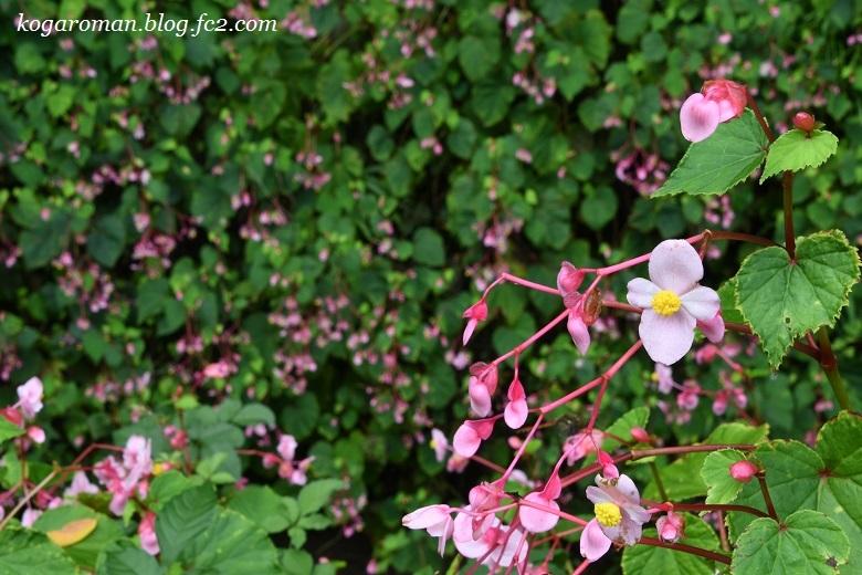 出流ふれあいの森の秋海棠2